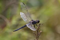 dragonflies and butterflies-184.jpg (Scott Alan McClurg) Tags: park wild urban macro nature closeup bug insect fly flying spring close dragonfly land delaware flapping flap naturephotography libellulidae bluecorporal ladonadeplanata lifewildlife