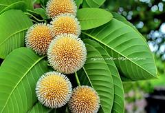 '...আজি ঝর ঝর মুখর বাদর দিনে ...' কদম ফুল - চুয়াডাঙ্গা (sajan-164) Tags: bangladesh kadam chuadanga sajan164