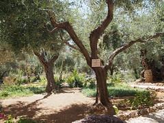 Gardens of Getzemane, Jerusalem!