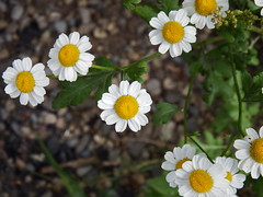 """Feverfew (nz_willowherb) Tags: see scotland flora tour visit dalkeith feverfew tanacetumparthenium to"""" """"go"""