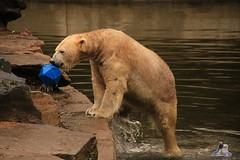 Tierpark Berlin 26.12.2017 036 (Fruehlingsstern) Tags: eisbär polarbear wolodja rothund nashorn stachelschwein tierparkberlin canoneos750 tamron16300
