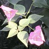 Paper Flower (Renee Rendler-Kaplan) Tags: greenhouse indoors inside paperflower chicagobotanicgarden botanicgarden nature pink green iphone iphoneography november 2016 reneerendlerkaplan chicagoist chicagoreader wbez consumerist northshore glencoeillinois