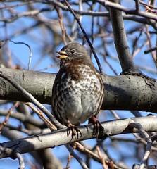"""Sooty"" Fox Sparrow--Passerella iliaca unalaschensis (Polioptila caerulea) Tags: sparrow songbird sootyfoxsparrow foxsparrow passerellailiaca passerellailiacaunalaschensis passerella fosp solanocounty california"