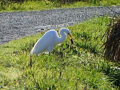 Great Egret       . the fling ? (timber1212) Tags: ebparksok ebrp sfbayarea coyotehills cornivore egret letseat fling vole white great bird rat