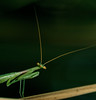 Praying mantis (donalddewulf) Tags: macro prayingmantis mantis praying green dark pose nature