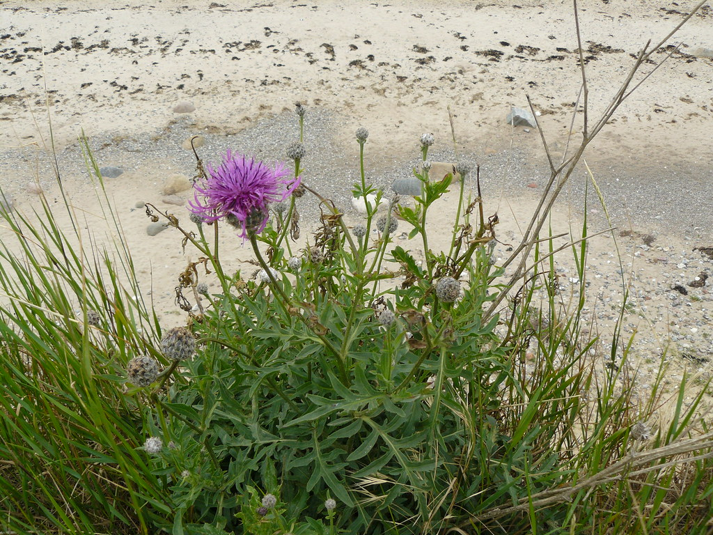 Centaurea scabiosa-Skabiosen-Flockenblume1