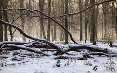 DSC07075-15 januari 2017 (mauriceweststrate) Tags: fairytale gelderland rozendaal winter bos boslandschap bossen cold fairy forest forests mauriceweststrate rozendaalsebos rx100 snow trees velp winterlandscape winterlandschap