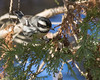 Black-throated Gray Warbler (J.B. Churchill) Tags: btyw birds blackthroatedgraywarbler harford havredegrace maryland places taxonomy warblers