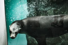 Look Daggers 500px.com/photo/187283057/ (KT.pics) Tags: 500px zoo animal auarium water underwater ktpics koukichi takahashi reflection legs holiday glitch imperfection eyes darkness atmosphere moody mood look daggers bubble blue moment angry rage face composition perspective life desire scary
