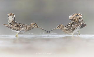 Courtship Behaviour of Snipe