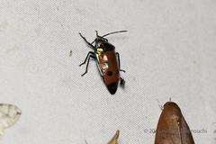 Scutelleridae (pirotake) Tags: arfak papua insect indonesia nature scutelleridae hemiptera