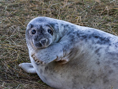 Grey Seal (Paul West ( pwest.me )) Tags: donnanook greyseals greyseal grey nature sealife coastal lincolnshire