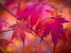 red october (koaxial) Tags: koaxial red october 2016 pa229869ajpg leaf blätter laub bunt herbst fall autumn intense color farbe