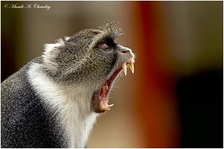 The Yawn!