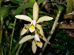 Cattleya forbesii (Eerika Schulz) Tags: cattleya forbesii berggarten hannover herrenhausen herrenhäuser garten orchidee eerika schulz