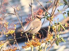 Waxwing (WiltsWildAboutBirds) Tags: wildaboutwilts gloucestershire stowonwold waxwing jan2017birds