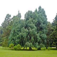 Cupressus cashmeriana (Cypress Bhutan) (Everyone Sinks Starco (using album)) Tags: bali bedugul pohon tree cypress