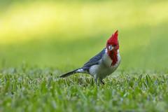 Hey what are you looking at. (Peter Stahl Photography) Tags: redcrestedcardinal crestedcardinal cardinal hawaii maui bird outdoors winter