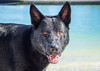 IMG_1924 (megscapturedtreasures) Tags: ammo sun sunset dog beach dogs ruff days daycare