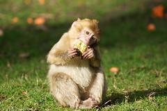 little monkey with celery - Barbary Macaque - Berberaffe (okrakaro) Tags: littlemonkey portrait celery baby barbarymacaque animal food kleiner affe berberaffe affenbaby sellerie fütterung natur zoo rheine märz 2014 germany oneyearold einjahralt