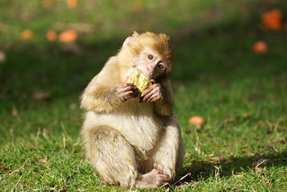 little monkey with celery - Barbary Macaque - Berberaffe