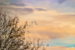 Vol de grues au lointain. (Crilion43) Tags: réflex france véreaux divers grues ciel paysage nature coucherdesoleil oiseaux centre objectif canon nuages tamron 1200d cher arbres bleue cendrée charbonnière mésange