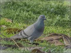 PALOMA (BLAMANTI) Tags: palomas aves avesdeespaña parque verde