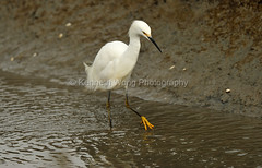 HaywardShoreline_021917_178 (kwongphotography) Tags: haywardshorelineinterpretivecenter hayward calif birds wildlife nature wildlifephotography naturephotography egret snowyegret unitedstates