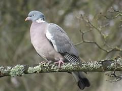 Woodpigeon (seanwalsh4) Tags: 7dwf wednesdaythememacrocloseup woodpigeon wednesdaythememacrocolseup bird pigeon sean walsh bristol england bokeh nature riveravon closeup macro