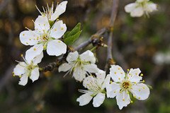 Plum Blossoms (Rachel Fatale) Tags: blossoms plumblossoms