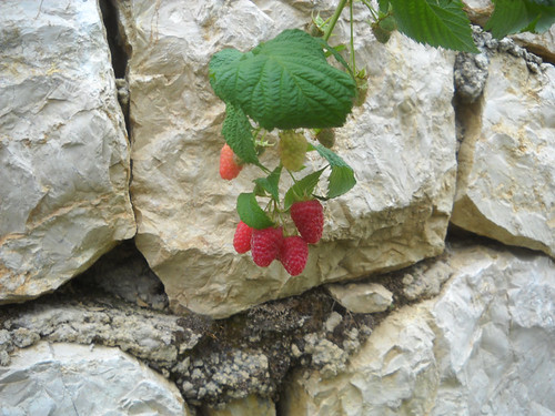 Raspberries fruiting a2 May 31, 2015