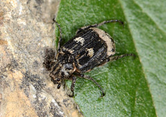 Beetle: Valgus hemipterus (male) (Tam & Sam [Thank you for 400,000 + views]) Tags: macro male closeup insect nikon beetle may crete arthropod coleoptera 2015 scarabaeidae bytam valgushemipterus