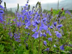 Veronica austriaca subsp. teucrium 'Royal Blue'