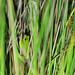 Green Treefrog, Male