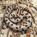 Western Pygmy Rattlesnake, Young