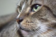 Hunter (DFChurch) Tags: pet cat feline tabby whisker hunter