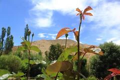 Beautiful ladakh (thupstan_rin) Tags: summer season ngc incredibleindia thelastshangrila thelastparadise ladakhflowershimalaya