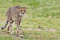 Cheetah 79 (cypher40k Photography) Tags: bigcat cat cheetah color colour feline nikon spots spotted toronto torontozoo zoo