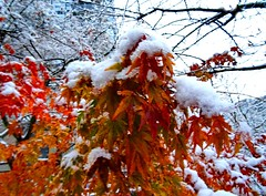 Mixed signals (peggyhr) Tags: peggyhr snow autumnleaves red orange white vancouver bc canada favtop019faves level1photographyforrecreation ♣mothernature rainbowofnaturelevel1red favtop2049fav musictomyeyes~l1 ►thebestshots◄