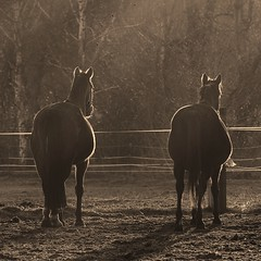 ^^ & ^^ (c-or^^) Tags: 20160226imgp3919 monochrom fauna pferde horses fridaysfence weide koppel pasture meadow sunset testfreihand tragend