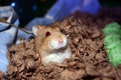 Aries (Dani Stanevicz) Tags: photography canon animal animals pet pets adoptdontshop hamster hamsters shelterpets
