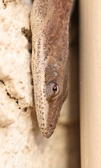 something new (Vicki's Nature) Tags: greenanole brown winter january vertical hanging house downspout texture eyes reptile lizard vickisnature canon 100mm macro yard georgia 6384