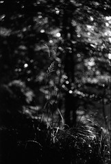 колыбельная для олешки (horilyc) Tags: tree лес свет чб трава дерево плёнка тень canoneos33 boket стебли svemareporter200 helios44 2009 film forest shadow bw bokeh боке photography schwarzweis analog analogue noirblanc albnegru blackwhite blackandwhite fromipernity ipernity svemafilms