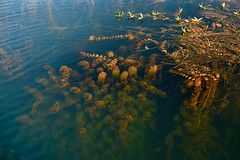 Submerged (Rafio Islam) Tags: plant aquatic aquaticlife aquaticplant water swamp lake underwater submerged green nature