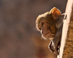 Impressions of India – 6 (Chizuka2010) Tags: bokeh wedenesday hbw monkey babymonkey singe macaque rhesusmacaque monkeytemple jaipur rajasthan india inde travel voyage animal animalphotography portrait monkeyportrait backlit chizuka2010 luciegagnon