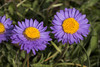 Astro alpino (Marco Ottaviani on/off) Tags: natura nature piante plants asteraceae aster aalpinus fiori flowers montagna mountain alpi alps canon marcoottaviani