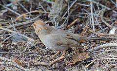 California Towhee at Sweet Springs-Explore (Patrick Dirlam) Tags: morrobay trips birds landbirds california towhee explore explored
