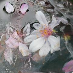 Frozen Blossom (Lemon~art) Tags: wintercherry blossom ice frozen flower petals manipulation cold winter