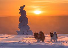 American Akitas on fell Kuertunturi (markus.kiili) Tags: americanakita fell winter äkäslompolo ylläs kuertunturi