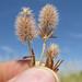 Trifolium arvense flowerhead15 CWS